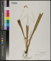 Carex fraseriana image