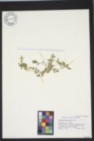 Collomia heterophylla image
