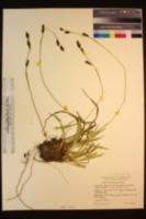 Carex fissuricola image