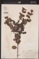 Ceanothus gloriosus image