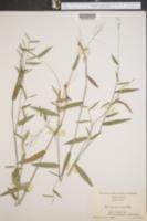 Panicum annulum image