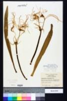 Image of Hymenocallis duvalensis