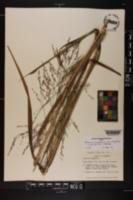 Panicum virgatum var. virgatum image