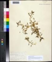 Image of Amaranthus polygonoides