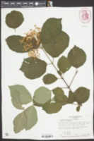 Image of Viburnum betulifolium