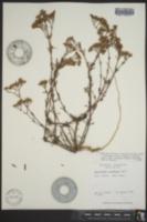 Paronychia erecta var. corymbosa image