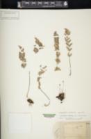 Myriopteris newberryi image