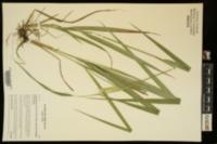 Calamagrostis porteri subsp. insperata image