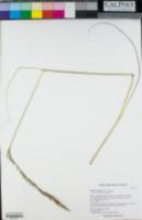 Stipa nevadensis image