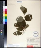 Image of Corylus rostrata
