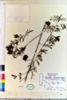 Desmanthus illinoensis image