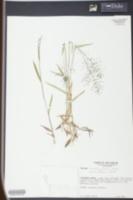 Panicum longiligulatum image