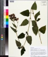 Brickellia cordifolia image