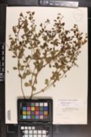 Image of Baptisia lecontei