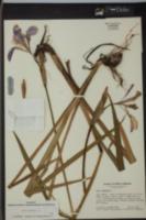 Iris virginica image