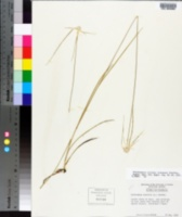 Rhynchospora colorata image