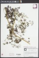 Anthriscus cerefolium image