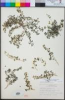 Parietaria hespera image