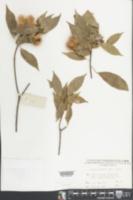 Image of Sloanea sinensis