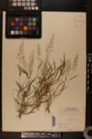 Eragrostis amabilis image