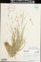Carex styloflexa image
