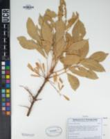 Fraxinus velutina image