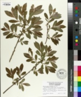 Image of Salix gracilistyla