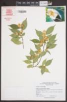 Image of Camellia cuspidata
