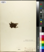 Image of Trichomanes pusillum