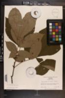 Carya pallida image