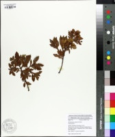 Phyllocladus image