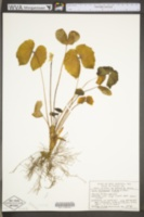 Jeffersonia diphylla image