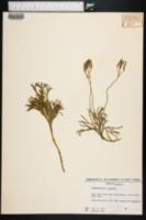 Image of Lycopodium x zeilleri