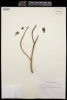 Image of Aeonium lindleyi