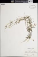 Image of Galactia pinetorum