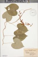 Image of Dioscorea hirticaulis