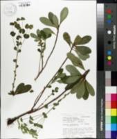 Image of Euphorbia amygdaloides