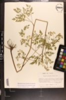 Thaspium chapmanii image