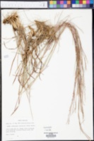 Andropogon stolonifer image