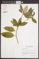 Image of Rhododendron minus
