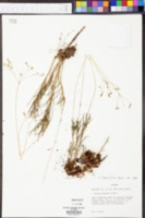 Talinum teretifolium image