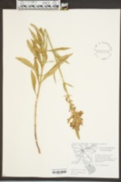 Dracocephalum virginianum image