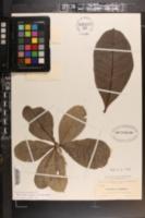 Amphitecna latifolia image