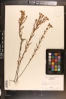Hypericum cistifolium image