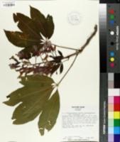 Aesculus x woerlitzensis image