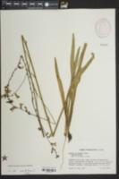 Lobelia floridana image