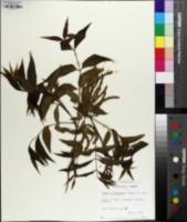 Carya illinoinensis image