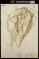 Peteria scoparia image