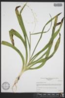 Image of Stenanthium diffusum