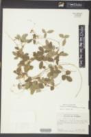 Rhynchosia parvifolia image